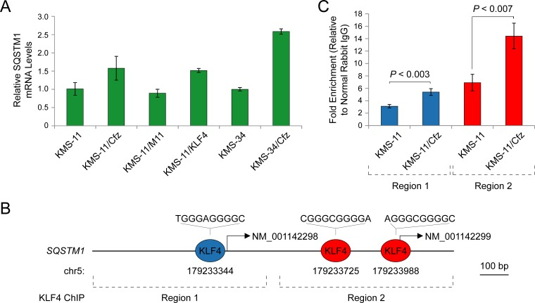 SQSTM1 is a direct target of KLF4 upregulated in carfilzomib-resistant KMS-11/Cfz and KMS-34/Cfz cells A. Expression of SQSTM1 determined by qRT-PCR. KMS-11/KLF4, KMS-11 cells expressing a KLF4 cDNA. KMS-11/M11, KMS-11 cells transfected with a control vector. B. Evolutionarily conserved KLF4-binding motifs in the SQSTM1 promoter regions upstream of the NM_001142298 and NM_001142299 transcription start sites ( Figure S2 ; see also Table S3 of Zaret and colleagues [ 54 ]). C. Increased binding of KLF4 to the SQSTM1 promoter regions indicated in B. in KMS-11/Cfz versus parental KMS-11 cells as determined by ChIP-qPCR.