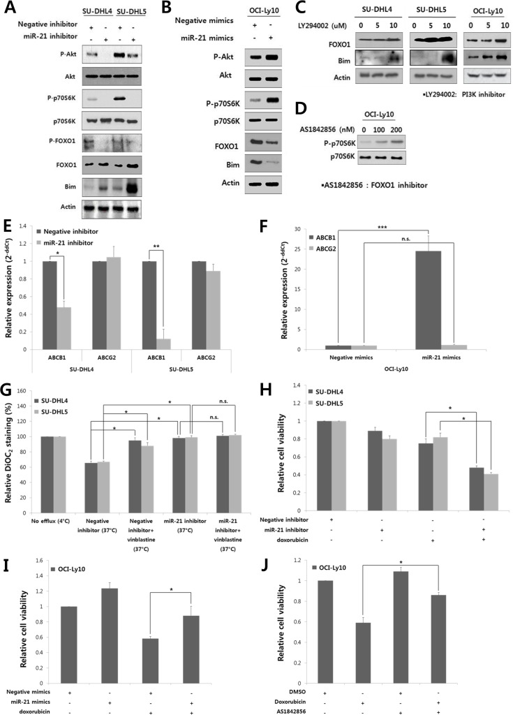 MiR-21 regulates the PI3K/AKT/mTOR/FOXO1 pathway and involved in the drug resistance and proliferation of DLBCL cells At 24 hours after transfection of A , the miR-21 inhibitor or negative inhibitor into SU-DHL4 and SU-DHL5 cells or B , miR-21 mimics or negative mimics into OCI-Ly10 cells, Western blotting was performed to determine the levels of phospho-AKT, AKT, phospho-p70S6K, p70S6K, phospho-FOXO1, FOXO1 and Bim. C , SU-DHL4, SU-DHL5, and OCI-Ly10 cells were treated with increasing doses of LY294002, a PI3K inhibitor. At 24 hours after incubation, Western blotting was performed to determine the levels of FOXO1 and Bim. D , OCI-Ly10 cells were treated with increasing doses of AS1842856, a functional inhibitor of FOXO1, and 2 hours after incubation, Western blotting was performed to determine the levels of phospho-p70S6K and p70S6K. At 24 hours after transfection of E , the miR-21 inhibitor or negative inhibitor into SU-DHL4 and SU-DHL5 cells, or F , miR-21 mimics or negative mimics into OCI-Ly10 cells, the expression levels of ABCB1 (MDR1) and ABCG2 were evaluated using qRT-PCR. G , SU-DHL4 and SU-DHL5 cells were treated with the miR-21 inhibitor or negative inhibitor for 24 hours and co-incubated with the efflux-blocking drug, vinblastine, for the last 30 minutes. The cells were then stained with DiOC 2 , and their drug efflux activity was analyzed. A decrease in the percentage of DiOC 2 -staining cells determined using FACS represents an increase in the population of cells with drug efflux activity. H , The effect of miR-21 inhibition on the doxorubicin-induced cytotoxicity in SU-DHL4 and SU-DHL5 cells was evaluated using the CCK8 assay. I , The effect of miR-21 overexpression on the doxorubicin-induced cytotoxicity in OCI-Ly10 cells was assessed using the CCK8 assay. J , The relative rates of cell proliferation of OCI-Ly10 cells treated with DMSO (control) and doxorubicin and/or the FOXO1 inhibitor (AS1842856) were determined using the CCK8 assay. The values p