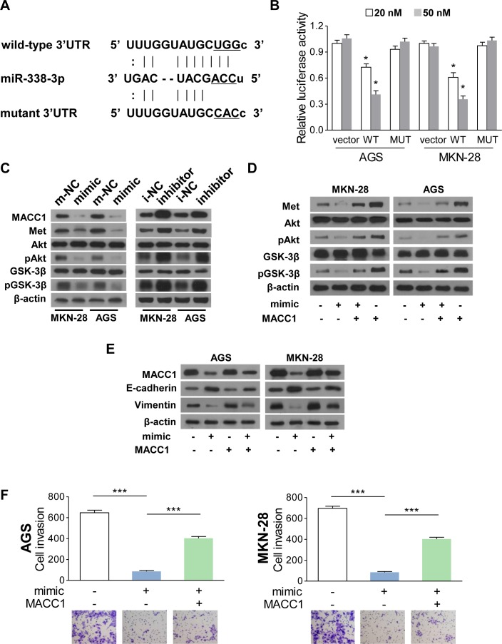 MiR-338-3p suppresses EMT via MACC1/Met/Akt signaling ( A ) MACC1 is predicted as the downstream target of miR-338-3p. The luciferase reporter of the miR-338-3p binding site on the wild-type and mutant MACC1 3′UTR. The replaced site is underlined. ( B ) Relative luciferase activity analyses. The vector, psiCHECK2-wMACC1, or psiCHECK2-mMACC1 plasmid (20 nM or 50 nM) was transfected into AGS and MKN-28 cells with or without miR-338-3p mimic. ( C ) MACC1, Met, pGSK-3β, GSK-3β, pAkt and Akt protein expression levels in AGS and MKN-28 cells transfected with miR-338-3p mimic, inhibitor, or the corresponding control plasmids. ( D ) Restoring MACC1 expression increased the protein expression of MACC1, Met, pGSK-3β, and pAkt in the miR-338-3p mimic-transfected cells ( E ) MiR-338-3p decreased MACC1 and vimentin expression and increased E-cadherin expression, whereas the reintroduction of MACC1 reversed these alterations. ( F ) Restoration of MACC1 re-enhanced miR-338-3p-dimished invasiveness in AGS and MKN-28 cells. ** P