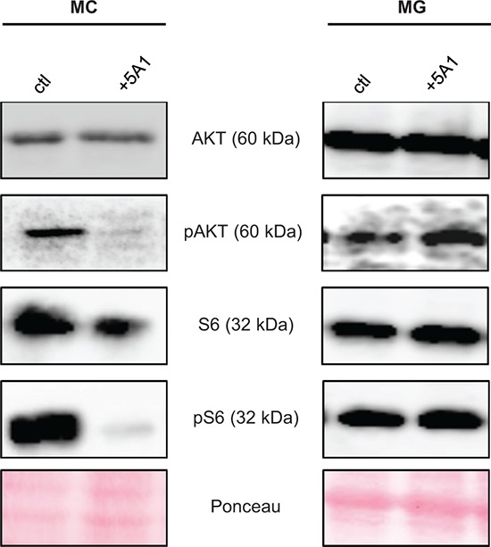 CSF-1R downstream-signaling is affected by 5A1 in MC but not in MG MC (left panel) and MG (right panel) were treated with 2.5 μg/ml 5A1, respectively. Expression of AKT, pAKT, S6 and pS6 was analyzed by western blot after 30 min of treatment. All western blots were repeated at least three times, shown is one representative example.