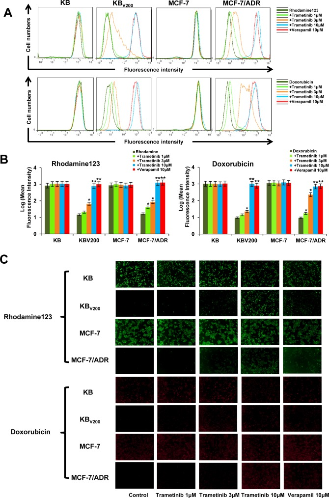 Trametinib increases the intercellular accumulation of rhodamine 123 and doxorubicin in ABCB1-overexpressing cells Cells were incubated with 10μM rhodamin 123 or doxorubicin for another 2 hours at 37°C after pre-treated with the indicated concentrations of trametinib and verapemail for 1 hour at 37 °C, measured by FCM and photographed by fluorescent microscope. The representative charts ( A ), quantified data ( B ) and graphs ( C ) are shown. * P