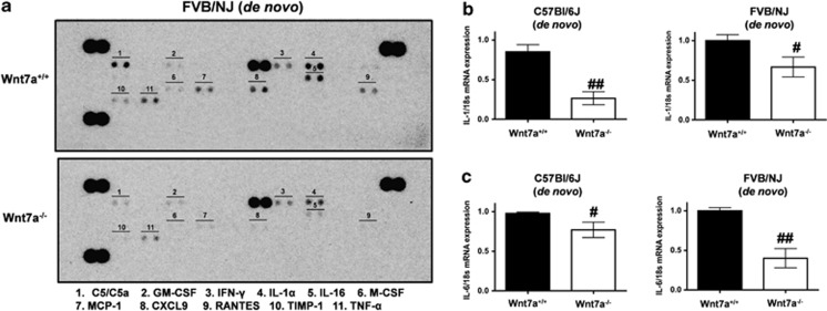 Wnt7a regulates SASP. Equal amounts of protein lysates of wild-type and Wnt7a-null mice in FVB/NJ strain were probed against a mouse cytokine array ( a ) (ARY006, R D) to profile the relative levels of select cytokines and chemokines in wild-type and Wnt7a-null mice as per the manufacturer's recommendations. A representative image of the cytokine array identifying differentially expressed cytokines was displayed in the image. ( b , c ). Total RNA isolated from wild-type ( n =3) and Wnt7a-null mice ( n =3) were used to generate cDNAs. The cDNAs were later used to determine the expression of IL1α ( b ) and IL6 ( c ) via quantitative PCR. The expression of IL1α and IL6 were normalized to the expression of 18S ribosomal RNA and are displayed in the figure. ## P