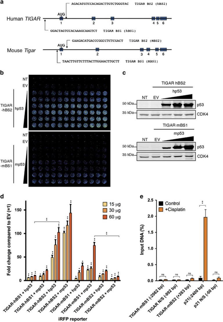 Comparison of human and mouse p53-binding sites on the TIGAR promoter. ( a ) Possible p53-binding sites along human and mouse TIGAR . ( b ) Representative iRFP reporter assay scan of HCT116 p53 −/− cells 24 h after co-transfection with TIGAR-hBS2 or TIGAR-mBS1 iRFP reporter and increasing amounts of human p53 or mouse p53. ( c ) Western blot analysis of HCT116 p53 −/− cells transfected with increasing amounts of human p53 or mouse p53. ( d ) Quantification of iRFP reporter scans on human (hBS1 and hBS2) and mouse (mBS1 and mBS2) TIGAR promoter-binding sites with increasing levels of human or mouse p53. ( e ) Chromatin-immunoprecipitation (ChIP) was performed for p53 with quantitative PCR for mBS1 (−2062 bp), mBS2 (+263 bp), a p53 response element on the p21 promoter (−2400 bp) and non-specific (N/S) binding regions on the Tigar (−992 bp) and p21 promoter (−50 bp), using 3T3s treated with 50 μ M cisplatin for 24 h. Values represent mean±S.E.M. of three independent experiments. * P