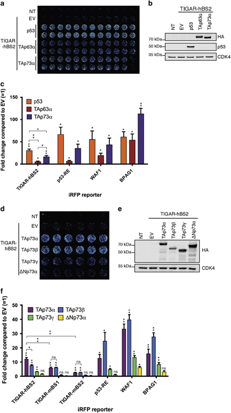 TAp63 α and TAp73 α can activate the TIGAR-hBS2 reporter. ( a ) Representative iRFP reporter assay scan of HCT116 p53 −/− cells 24 h after <t>co-transfection</t> with TIGAR-hBS2 iRFP reporter along with human p53, HA-tagged TAp63 α or HA-tagged TAp73 α . ( b ) Western blot analysis of HCT116 p53 −/− cells with transfected p53, HA-tagged TAp63 α or HA-tagged TAp73 α . ( c ) Quantification of iRFP reporter scans. ( d ) Representative iRFP reporter assay scan of HCT116 p53 −/− cells 24 h after co-transfection with TIGAR-hBS2 iRFP reporter along with TAp73 α , TAp73 β , TAp73 γ or ΔNp73 α . ( e ) Western blot analysis of HCT116 p53 −/− cells with transfected HA-tagged TAp73 α , HA-tagged TAp73 β , HA-tagged TAp73 γ or HA-tagged ΔNp73 α . ( f ) Quantification of iRFP reporter scans on human (hBS2) and mouse (mBS1 and mBS2) TIGAR promoter-binding sites. Values represent mean±S.E.M. of three independent experiments. * P