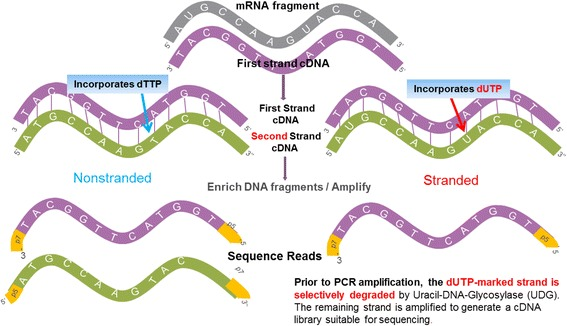 Non-stranded versus stranded <t>RNA-seq</t> protocol. The stranded protocol differs from the non-stranded protocol in two ways. First, during <t>cDNA</t> synthesis, the second-strand synthesis continues as normal except the nucleotide mix includes dUTPs instead of dTTPs. Second, after library preparation, a second-strand digestion step is added. This step ensures that only the first strand survives the subsequent PCR amplification step and hence the strand information of the libraries