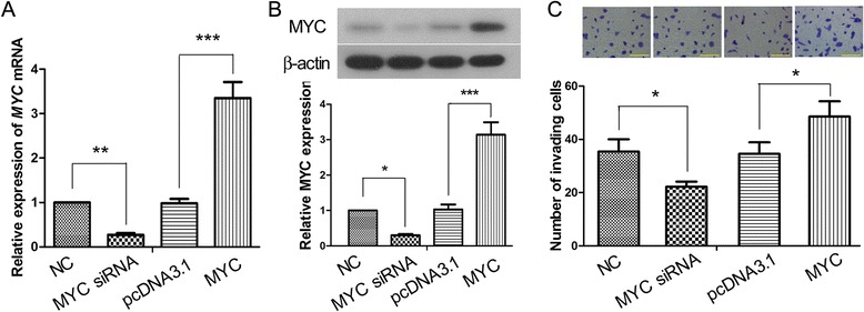 <t>MYC</t> regulates the invasion of JEG-3 cells. JEG-3 cells were transfected with MYC overexpression construct, MYC siRNA, or the corresponding empty vectors. 48 h later, the levels of a MYC mRNA and b MYC protein in the cells were analyzed by real-time <t>PCR</t> and Western blot analysis respectively, using β-actin as the internal control. c Matrigel-based Transwell invasion assay was set up 24 h after transfection, and the number of invading cells was counted 24 h later at 200× magnification (scale bars = 100 μm). This figure shows the representative images from three independent experiments, and the values are expressed as the mean ± standard deviation. * p