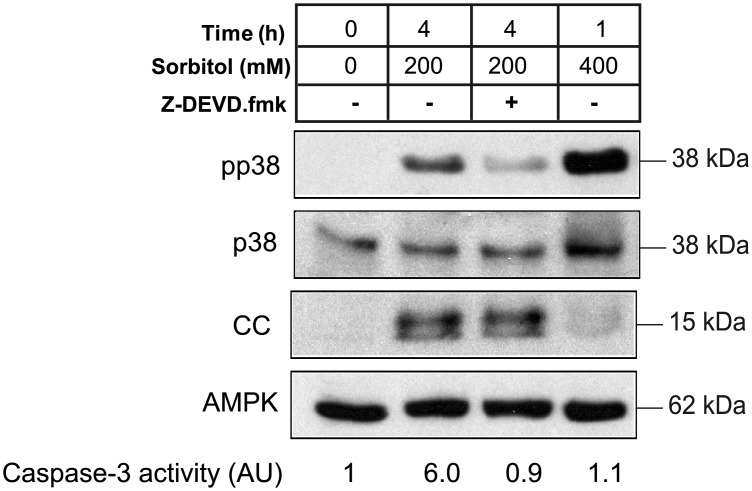 Caspase-3 inhibitor reduces p38 phosphorylation induced by hyperosmotic shock. Oocytes were incubated with 200 mM sorbitol for 4 h in the presence or absence of caspase-3 inhibitor Z-DEVD.fmk (50 μM), or with 400 mM sorbitol for 1 h. Pools of 20 oocytes were collected and pp38, p38, cytochrome c (CC) and AMPK (loading control) were analyzed by Western blot. Caspase-3 activity was determined as the concentration of fluorescent AMC formation from Z-DEVD-AMC substrate, and represented as arbitrary units of caspase-3 activity, giving value 1 to non treated oocytes.