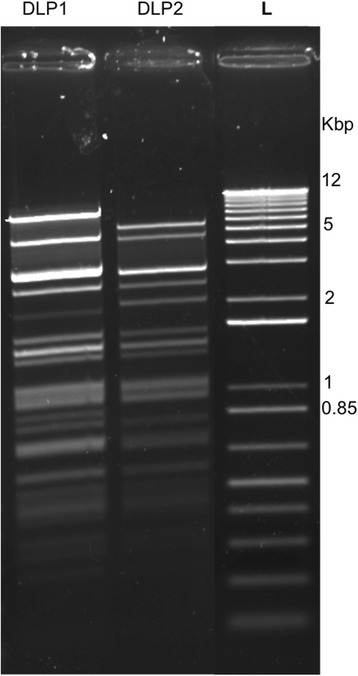 Restriction fragment length polymorphism of DLP1 and DLP2 genomic DNA. 1 μg of phage genomic DNA was digested 5 min with EcoRI and separated on a 1 % agarose gel. L: 1 Kb Plus DNA Ladder (Invitrogen). Several differences in banding pattern between the genomic DNAs isolated from the two phages is apparent