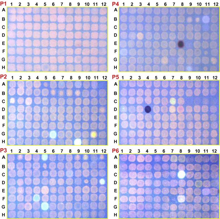 Representative dot-blot screens for inhibitors of parsley XET activity. The papers had been impregnated with 0.3% xyloglucan + generally about 5 μM XGO–SR (though the exact concentration varied, which accounts for the differences between papers in the fluorescence intensity of the XET products). Parsley enzyme extract (4 μl) containing a specific xenobiotic (200 μg/ml) was pipetted onto each station. After 2 h incubation under humid conditions, the papers were washed and fluorescent reaction products of XET activity were recorded. The results are shown here for the six plates (P1–P6) representing the EDI collection of xenobiotics.