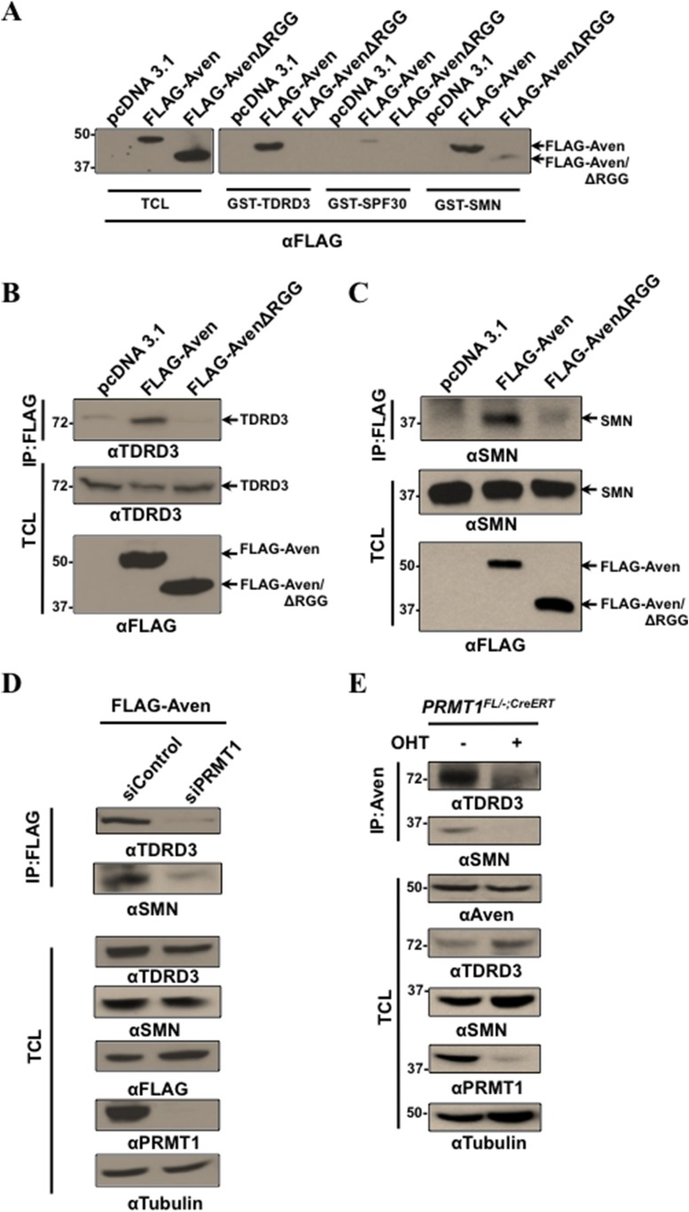 Tudor domains of TDRD3 and SMN recognize methylated <t>Aven.</t> ( A ) Recombinant Tudor domains of TDRD3, SPF30, and SMN were fused <t>GST</t> and used in 'pull-down' assays with HEK293T lysates expressing pcDNA3.1 (control), FLAG-Aven, or FLAG-AvenΔRGG. The bound proteins were separated by SDS-PAGE and immunoblotted with anti-FLAG antibodies. ( B , C ) Lysates from HEK293T lysates expressing pcDNA3.1 (control), FLAG-Aven, or FLAG-AvenΔRGG were IP with anti-FLAG antibodies. Co-immunoprecipitation of endogenous TDRD3 and SMN was detected by immunoblotting. ( D ) Aven interaction with TDRD3 and SMN was reduced in cells deficient for PRMT1 using siRNAs. FLAG-Aven was co-expressed with either siControl or siPRMT1 in U2OS cells. Anti-FLAG antibody immunoprecipitations were performed and the presence of endogenous TDRD3 and SMN monitored by immunoblotting following separation by SDS-PAGE. ( E ) PRMT1 FL/−;CreERT MEFs treated with OHT for 6 days or left untreated were lysed and IP with anti-Aven antibodies. Co-immunoprecipitation of endogenous TDRD3 and SMN was detected by immunoblotting (upper panels). DOI: http://dx.doi.org/10.7554/eLife.06234.007