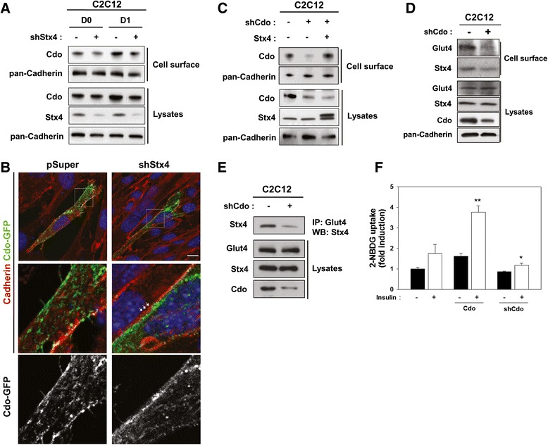 The cell-surface-resident Cdo was specifically decreased in Stx4-depleted C2C12 cells. a C2C12 cells were transfected with pSuper or shStx4 expression vectors, and cells at the indicated differentiation time points were subjected to the surface biotin labeling, followed by the pulldown with streptavidin and immunoblotting. Total cell lysates were also analyzed as control. b C2C12/pSuper or C2C12/shStx4 cells were transfected with Cdo-GFP expression vectors and subjected to immunostaining with N-Cadherin antibody, followed by confocal microscopy. The boxed area is shown as an enlarged view. The white arrows mark the area where the localization of Cdo-GFP under the N-Cadherin-resident cell surface is located. Size bar = 10 μm. c C2C12/pSuper or C2C12/shCdo cells were transfected with pcDNA or Stx4 expression vectors and subjected to the surface biotin labeling, followed by the pulldown with streptavidin and immunoblotting. Total cell lysates were analyzed as control. d Control or shCdo-transfected C2C12 cells at D1 were subjected to surface biotinylation followed by streptavidin-bead pulldown and immunoblotting with indicated antibodies. e Control or shCdo expression vector transfected C2C12 cells were immunoprecipitated with antibody to GLUT4 and immunoblotted with antibodies to GLUT4, Stx4, and Cdo. f Stable C2C12 cells transfected with control, Cdo, or shCdo expression vector were incubated with or without 10 μg/ml insulin for 1 h, followed by 2-NBDG incubation for a further 1 h. Glucose uptake was measured by the relative fluorescence intensity. The experiment was repeated for three independent assays with similar results. Significant difference from insulin-incubated cells, * p