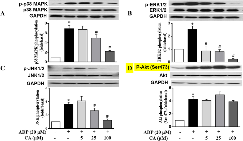 CA attenuates ADP-activated platelet p38MAPK, ERK and JNK phosphorylation. Washed platelets were incubated with CA or vehicle for 20 min and then stimulated with ADP for 20 min. Platelet proteins were then extracted and specific antibodies were used to measure the levels of total and phosphorylated p38 ( A ), ERK ( B ), JNK ( C ), and Akt ( D ). CA attenuated the phosphorylation of p38, ERK and JNK but not of Akt (Ser473) in the activated platelets. Images are representative of three separate experiments. The relative protein expression levels were quantified by Quantity One software. Data represent the mean ± SEM of at least three independent experiments performed in triplicate. * p