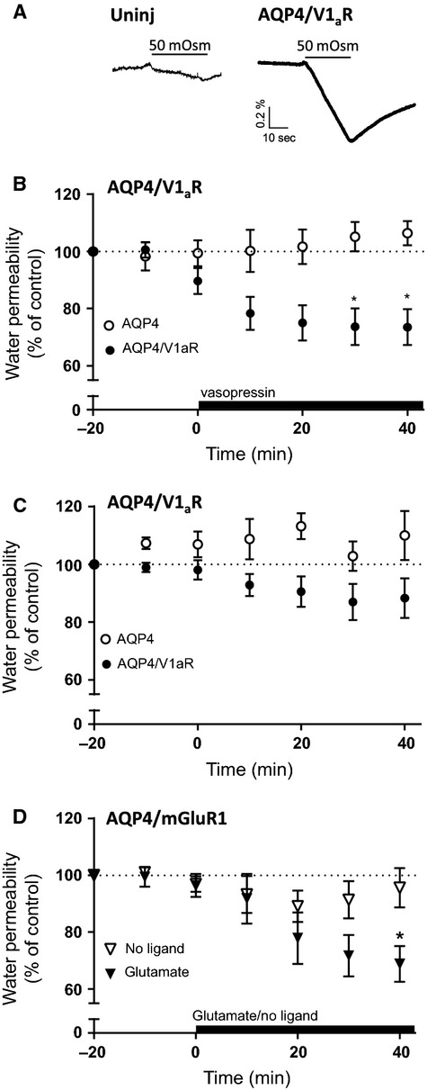 V1 a R-dependent downregulation of AQP4. (A) Volume traces obtained from an uninjected oocyte (left panel) and an AQP4/V1 a R-expressing oocyte challenged with an osmotic gradient of 50 mOsm mannitol for 30 sec. (B) Relative water permeability of oocytes expressing AQP4 (open circles; n = 5) or coexpressing AQP4/V1 a R (filled circles, n = 20) exposed to 1 μ mol/L vasopressin as marked by the black bar. (C) Relative water permeability of oocytes expressing AQP4 (open circles; n = 6) or coexpressing AQP4/V1 a R (filled circles; n = 22) when exposed to repeated osmotic challenges. (D) Relative water permeability of oocytes coexpressing AQP4/mGluR1a and exposed to 500 μ mol/L glutamate as indicated by the black bar (filled symbols, n = 8) or kept in control solution (open symbols, n = 8, not exposed to glutamate). The groups were compared with two-way analysis of variance (ANOVA) with Šídák's multiple comparison post hoc test. * P