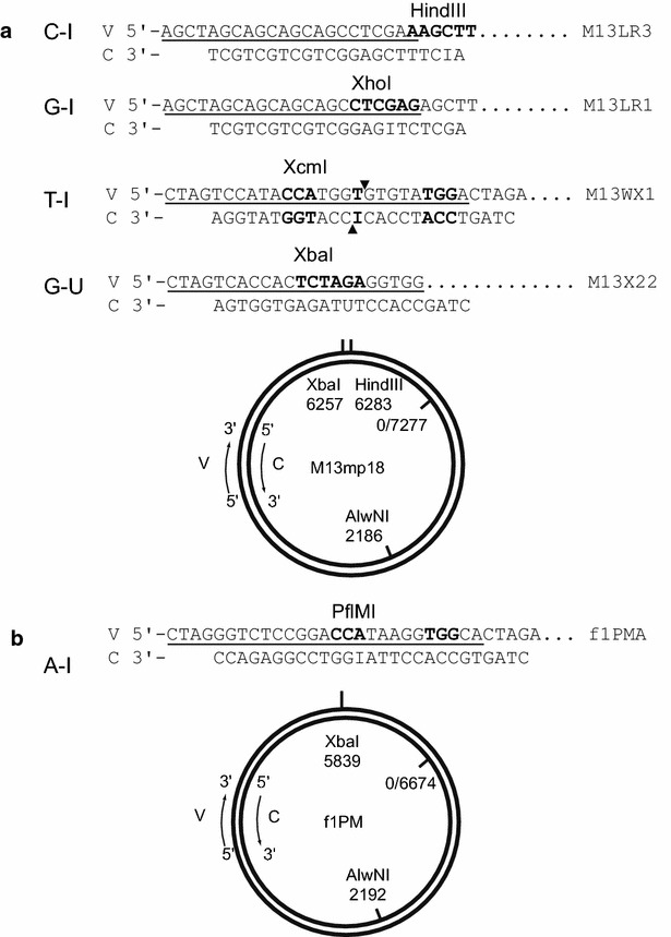 Map of M13mp18 and f1PM based heteroduplex substrates. a The map of bacteriophage M13mp18 replicative form (RF) DNA shows restriction enzyme sites relevant to this study with derivatives M13LR1 and M13LR3 containing 22-bp insertions at the unique HindIII restriction site, and phage M13WX1 and M13X22 containing 26-bp and 22-bp insertions at Xba I site respectively. b The map of bacteriophage f1PM RF DNA with its derivative f1PMA with a 27-bp insertion at Xba I. 'V', phage viral strand. 'C', phage complementary strand. Underlines beneath each viral strand are the original insertion sequences. The C-strand from parental phage RF DNA was paired with viral strand of its insertion derivative to produce gapped duplex DNA, and the gap was sealed with dI or deoxyuridine containing synthetic oligodeoxyribonucleotide. A-I, C-I, G-I, T-I, and G-U are the resulting substrates and DNA sequence shown on each C-strand of the the synthetic linker used. In the presence of dI, the substrates were refractory to the restriction endonuclease scoring. After the repair, DNA products become sensitive to restriction endonuclease cleavage. The recognition sequence of corresponding restriction endonuclease markers for repair products are shown in bold on V-strands