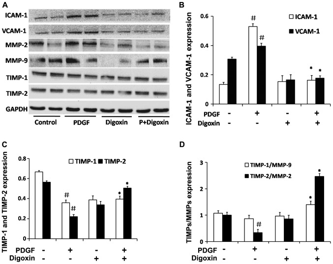 Digoxin inhibits platelet-derived growth factor (PDGF)-BB-induced adhesion molecule expression and effects the expression of key proteins in the extracelluar matrix in vascular smooth muscle cells (VSMCs). VSMCs were pre-cultured in serum-free medium for 24 h. The serum-starved VSMCs were then stimulated with PDGF-BB for 48 h in the absence or presence of digoxin (100 nM). The protein levels of intercellular adhesion <t>molecule-1</t> (ICAM-1), vascular cell adhesion molecule-1 (VCAM-1), matrix metalloproteinase (MMP)-2, MMP-9, tissue inhibitor of metalloproteinase (TIMP)-1 and TIMP-2 were determined by western blot analysis. (A) One representative image out of 4 independently performed experiments is shown. (B–D) The graphs represented the relative level of these proteins for 4 independent experiment. ( # P