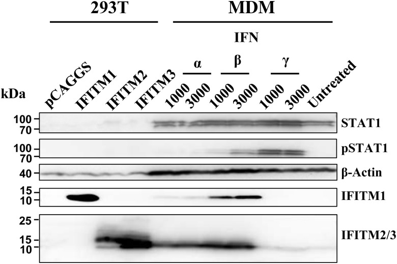 Stimulation with type I interferon (IFN) induces IFN-induced transmembrane (IFITM) protein expression in human macrophages. Monocyte-derived macrophages were incubated with the indicated IFNs for 24 hours or left untreated and expression of <t>STAT1,</t> phosphorylated STAT1, β-actin, IFITM1, and IFITM2/3 was assessed by Western blot analysis. As controls, 293T cells were transfected with empty plasmid or expression plasmids for IFITM1–3. Similar results were obtained in 3 separate experiments. Abbreviation: MDM, monocyte-derived macrophages.
