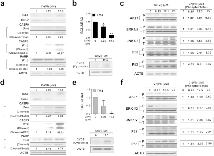 Effects of Cr(VI) on pro-apoptotic and pro-survival signaling pathways in TM3 and TM4 cells. ( a , b ) Western blot analysis of mitochondria-dependent apoptotic pathways in TM3 cells after treatment with different concentrations of Cr(VI) for 24 h. ( c ) Western blot analysis of phospho and total <t>AKT1,</t> MAPK and P53 proteins in TM3 cells after treatment with different concentrations of Cr(VI) for 24 h. ( d – e ) Western blot analysis of mitochondria-dependent apoptotic pathways in TM4 cells after treatment with different concentrations of Cr(VI) for 24 h. ( f ) Western blot analysis of phospho and total AKT1, MAPK and P53 proteins in TM4 cells after treatment with different concentrations of Cr(VI) for 24 h. BAX, BCL2, CASP9, CASP3, PARP, AKT1, ERK 1/2, JNK 1/2, P38, and P53 proteins were analyzed in the whole cell protein lysate. CYCS was analyzed in the cytosolic fraction. For the BCL2/BAX ratio, values are expressed as mean ± S.E.M. ( n = 3 ). * P
