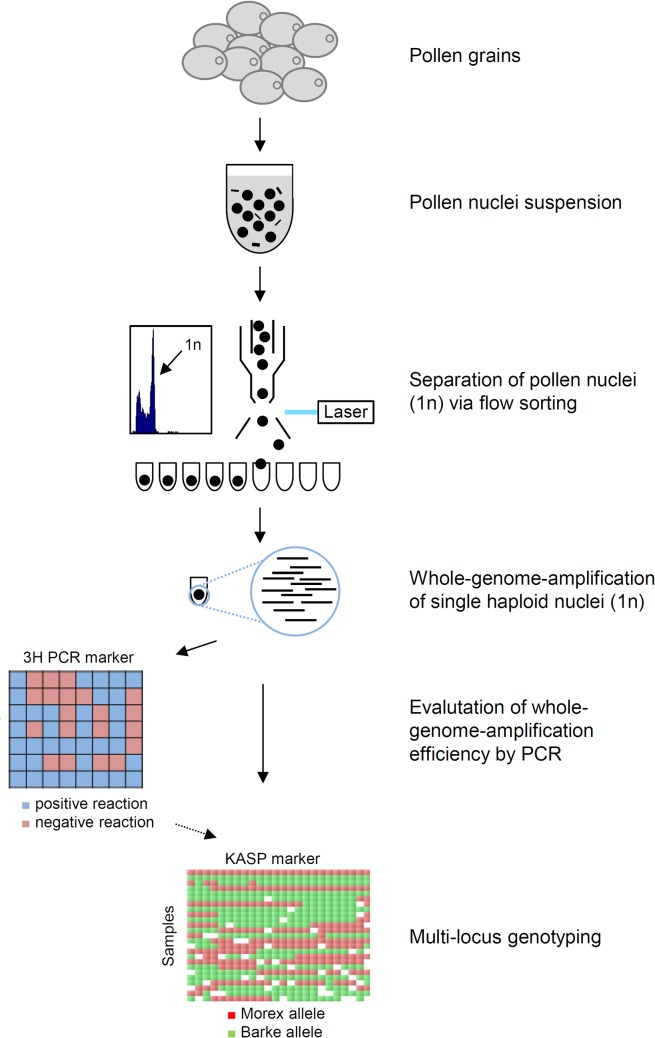 Scheme of experimental workflow developed in the current study. Haploid nuclei were extracted from pollen grains, separated via flow-sorting and individually subjected to whole-genome-amplification (WGA). High quality samples, evaluated by PCR with chromosome 3H-specific primers, were genotyped using 25 KASP markers to measure crossover frequency and distribution.