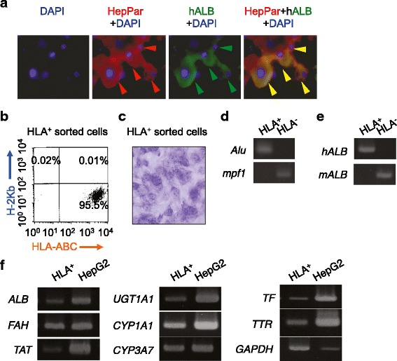 SHED-derived HLA-ABC-positive cells purified from primary recipient livers of CCl 4 -treated mice express hepatocyte-specific genes without host-cell fusion . a Double-immunofluorescent staining patterns for HepPar and human albumin ( hALB ) in CCl 4 -injured liver tissues transplanted with SHED. b Flow cytometric analysis of magnetically sorted HLA-ABC-positive ( HLA + ) cells stained with PE-conjugated anti-human HLA-ABC and APC-conjugated anti-mouse H-K2 b antibodies. c Morphology of sorted HLA + cells. Toluidine blue staining. d Genomic DNA assay. e RT-PCR analysis of hALB and mouse albumin ( mALB ) mRNAs. f RT-PCR analysis of human hepatocyte-specific genes. ALB albumin, Alu human-specific Alu gene, CCl 4 carbon tetrachloride, CYP1A1 cytochrome P450 1A1, CYP3A7 cytochrome P450 3A7, DAPI 4′,6-diamidino-2-phenylindole, FAH fumarylacetoacetate hydrolase, GAPDH human glyceraldehyde 3-phosphate dehydrogenase, HepG2 human hepatoma cell line, HepPar1 human hepatocyte specific HepParaffin 1 antigen, HLA human leukocyte antigen, HLA – HLA-ABC-negative cells, mpf1 mouse-specific Pf1 gene, SHED stem cells from human exfoliated deciduous teeth, TAT tyrosine aminotransferase, TF transferrin, TTR transthyretin, UGT1A1 uridine 5′-diphospho-glucuronosyltransferase 1A1