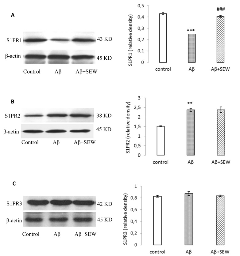 Effect of SEW2871 on S1PR1-3 expression in Aβ1-42 injected rats evaluated by Western blotting method. 15 days after the stereotaxic procedure, the expression of S1PR1-3 in hippocampus was detected. Results showed decreasing of S1PR1 (A) and increasing of S1PR2 (B) in AD model rats. Treatment of AD model rats with SEW2871 resulted in elevated levels of S1PR1 (A) in hippocampus and had no effect on S1P2 (B). The expression of S1P3 did not show any change between groups (C). β-actin protein was used here as an internal control. One representative Western blot is shown; n = 6. The band density values were calculated and the values from the control were used as 1. Values are the mean ± S.E.M., **P