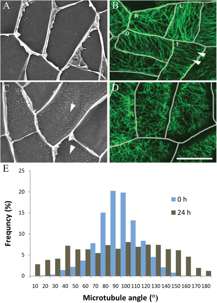 Changes in CMT organization during wall ingrowth papillae formation in adaxial epidermal cells of V. faba cotyledons cultured for 24h. (A–D) Adaxial epidermal peels from freshly harvested (0h) (A, B) or cotyledons cultured for 24h (C, D). Wall ingrowth papillae were visualized by viewing the cytoplasmic face of the outer periclinal wall of cells by SEM (A, C) or epidermal peels were immunolabelled with anti-α-tubulin and IgG–Alexa Fluor 488 conjugate to visualize CMT organization by CLSM (B, D). In freshly harvested cotyledons, CMT arrays (B, arrowheads) in their adaxial epidermal cells were mostly aligned in parallel arrays either transverse to the long (L) or short (T) axis of each epidermal cell, or in an oblique pattern to the long axis (O) (see E). In a small number of cells, the CMT array was organized randomly (R). After 24h of cotyledon culture, in which wall ingrowth papillae had been deposited in most cells (C, arrowheads), CMTs were randomly organized (D) (see E). Bar, 20 μm. (E) Angles of CMTs relative to the long axis of the cell expressed as the percentage frequency of total CMT angles measured.