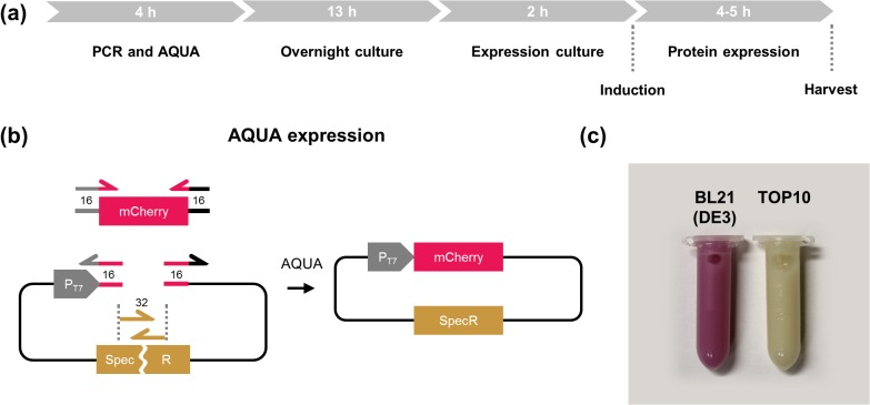 AQUA Expression—combined cloning and protein expression. (a) Timeline for AQUA Expression. Cloning and production of recombinant protein in E . coli may be performed within 24 h starting with the PCR until the bacteria are harvested the next day. (b) A 3-DNA fragment cloning was performed by inserting the coding sequence for the red fluorescent protein mCherry into a bacterial T7 promoter-driven expression vector. The vector was split into two parts within the resistance gene for the antibiotic spectinomycin. Therefore, only correctly assembled fragments allow cell growth. (c) AQUA Expression in the expression strain BL21 (DE3) results in red colored bacteria due to mCherry protein production, while the TOP10 strain—lacking the required T7 RNA polymerase—remains colorless.