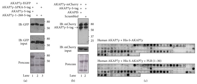 PKA and PLB binding to AKAP7 γ do not interfere with AKAP7 γ dimerization. (a) Lysates from either AKAP7 γ -EGFP or AKAP7 γ -ΔPKA-EGFP transfected HEK-293 cells were subjected to pulldown assays using bacterially purified S-tagged AKAP7 γ proteins precharged on S-protein resin; full length AKAP7 γ or AKAP7 γ -1–268 (which lacks the PKA binding domain). Anti-GFP antibody was used for detecting protein interactions by western blot analysis (upper panel). Protein stain of the nitrocellulose membrane before western blot analysis is shown in the lower panel. Input from the transfected cells (20 μ L) is shown in the middle panel; n = 3. (b) Lysates from AKAP7 γ -mCherry transfected HEK-293 cells were subjected to pulldown assays using bacterially purified S-tagged AKAP7 γ precharged on S-protein resin. After an overnight incubation, the pulldowns were washed extensively and then incubated with the PKA anchoring disrupting peptide AKAPIS or control, scrambled peptide (10 μ M) for 3 hours. The pulldowns were washed again, and association of AKAP7 γ was determined by anti-mCherry antibody (upper panel). Protein stain of the nitrocellulose membrane before western blot analysis is shown in the lower panel. Input from the transfected cells (20 μ L) is shown in the middle panel; n = 3. (c) The AKAP18 γ peptide array membranes used in (c) were stripped for 45 min in 62.5 mM Tris-HCl, pH 6.8, 2% SDS, and 100 mM β -mercaptoethanol at 60°C and washed three times in <t>TBST</t> for 10 min before being blocked in 1% casein (in TBST) overnight at 4°C. Concomitantly, 2 µ g/mL of recombinant human His-S-AKAP18 γ protein was preincubated with or without 10 µ M phospholamban peptide (1–30) overnight at 4°C, before being overlaid onto the peptide array membranes for 2 hours at room temperature. The membranes were washed, incubated with <t>HRP-conjugated</t> anti-S-tag antibody, and developed as described above.
