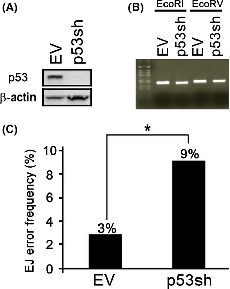 The loss of p53 enhances mutational frequency in normal human keratinocytes (NHKs). (A) NHKs infected with retrovirus expressing empty vector (EV) or p53shRNA (p53sh) were selected using puromycin (1 μg mL −1 ) and maintained. p53 expression was observed using Western blotting. (B) In vitro end joining assay was performed by incubating the lysates from these cells with ECoRI-or ECoRV- linearized pCR2.1-TOPO plasmid. The resultant reaction was subjected to PCR amplification with M13 primers to examine ligation efficiency. (C) Amplified PCR products from the ECoRI linearized and ligated pCR2.1-TOPO plasmid were subcloned and introduced into TOP10 cells. Subsequently, the single colony from a bacto-agar plate was subjected to PCR and sequencing analysis to examine errors in DNA. * p