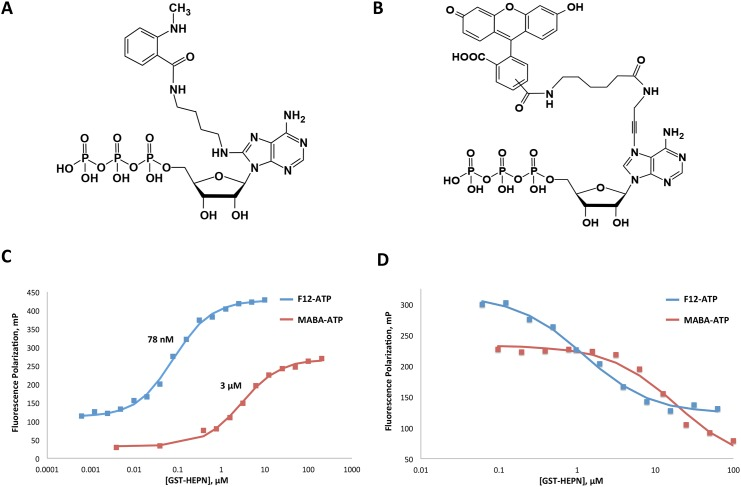 Fluorescence polarization assay development and validation. A. Chemical structure of <t>8[(4-amino)butyl]-amino-ATP-MNT</t> (MABA-ATP). B. Chemical structure of <t>fluorescein-12-ATP</t> (F12-ATP). C. 0.5 μM MABA-ATP and 5 nM F12-ATP were titrated against various concentrations of GST-HEPN. D. 0.5 μM MABA-ATP and 5 nM F12-ATP and 120 nM / 7 μM GST-HEPN were titrated against various concentrations of GTP to verify that the probes bind to HEPN at its nucleotide-binding site.
