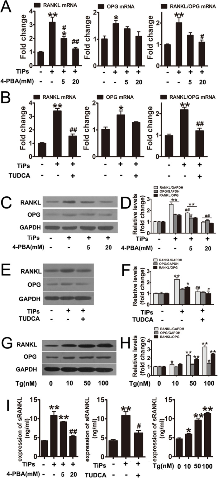 ER stress mediated the upregulation of RANKL and the RANKL/OPG ratio in TiPs-stimulated fibroblasts. (A and B) The gene expression of RANKL and OPG in fibroblasts from each group were examined by real-time PCR. (C, E and G) Western blots analysis of RANKL and OPG from each group. (D, F and H) The density of western blots bands shown in (C, E and G) was quantified using the ImageJ software. (I) The expression of sRANKL in the supernatants of fibroblasts from each group were quantified by ELISA. Data are represented as the means ± S.E.M from three independent experiments. *P