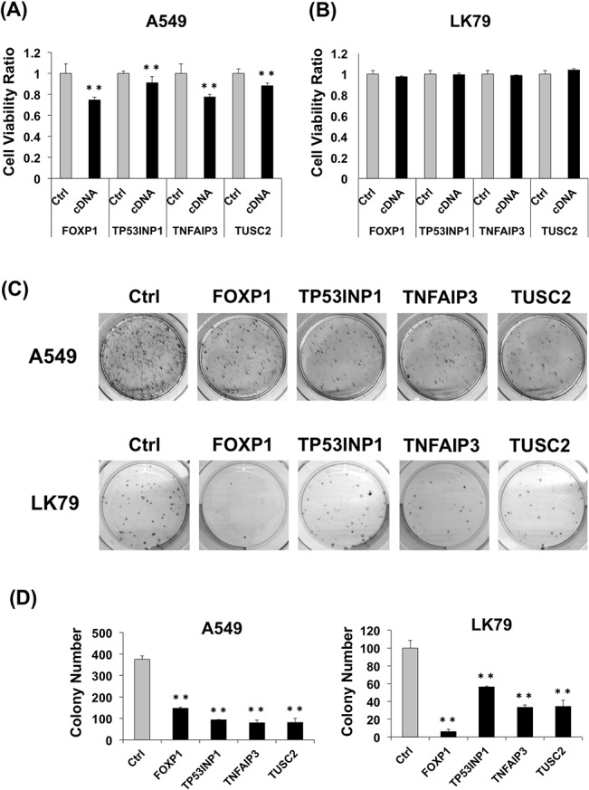 Effect of miR-19a target genes on lung cancer cells. (A) Relative cell viability of A549 cells 24 h after transfection of expression plasmids with miR-19a target gene cDNAs. (B) Relative cell viability of LK79 cells 24 h after transfection of expression plasmids with miR-19a target gene cDNAs. (C) Colony formation of A549 cells ( upper ) and LK79 cells (lower) 3 weeks after transfection with miR-19a target cDNA plasmids and G418 selection. Each assay was performed in 3 wells of 6-well plates, and the representative images of the results are shown. (D) Average colony number of A549 cells ( left ) and LK79 cells (right) in the colony formation assay. **, p