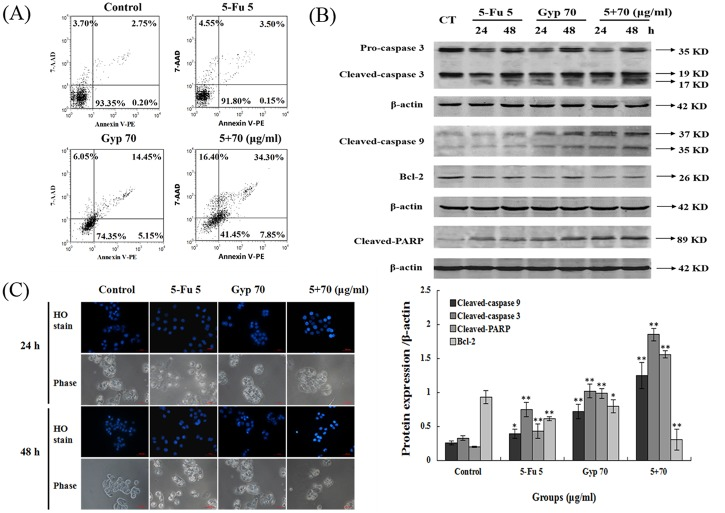 Apoptotic response induced by 5-Fu and Gyp. (A) Cell apoptosis was detected by Annexin <t>V-PE/7-AAD</t> assay after 5-Fu and / or Gyp treatment for 24 h in SW-480 cells. (B) The expression level of caspase 3, caspase 9, Bcl-2 and cleaved-PARP in SW-480 cells was detected by western blotting. (C) Nuclear condensation and cell morphology change in SW-480 cells after 5-Fu co-treated with Gyp was observed using Hoechst 33342 staining. Experiments were done independently in triplicate per experimental point, and representative results were shown. All data are expressed as means ± SD of triplicates and p *