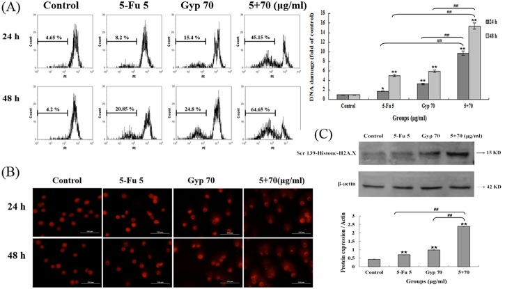 DNA response induced by 5-Fu, Gyp and 5-Fu + Gyp. (A) DNA fragmentation was detected using flow cytometry after 5-Fu, Gyp and 5-Fu + Gyp treatment in SW-480 cells after 24 and 48 h. Histograms showed number of cell channels (vertical axis) vs. PI fluorescence (horizontal axis). (B) Comet assay was performed for detection of DNA damage after 5-Fu co-treated with Gyp. (C) The expression level of Ser139-Histone H2A.X was determined using western blotting. Experiments were done independently in triplicate per experimental point, and representative results were shown. All data are expressed as means ± SD of triplicates and p *