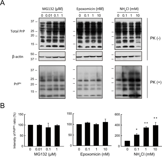 PrP Sc in N2a-FK cells is potently increased by a lysosomal but not by a proteasomal inhibitor. (A) N2aFK cells were treated for 48 h with 0.01 to 1 μM MG132 and 0.1 to 10 nM epoxomicin (Epo) as proteasome inhibitors and 0.1 to 10 mM NH 4 Cl as a lysosomal inhibitor. PK-treated and-untreated N2a-FK cells were loaded at concentrations of 100 and 30 μg protein per lane onto a 15% polyacrylamide gel and subjected to SDS-PAGE. The proteins were detected by western blotting using anti-PrP and -β-actin antibodies. (B) For densitometric analysis, PrP Sc band intensities are expressed as a percentage of those of the negative controls. The results in the graph are the mean ± SD of at least three independent experiments. *p