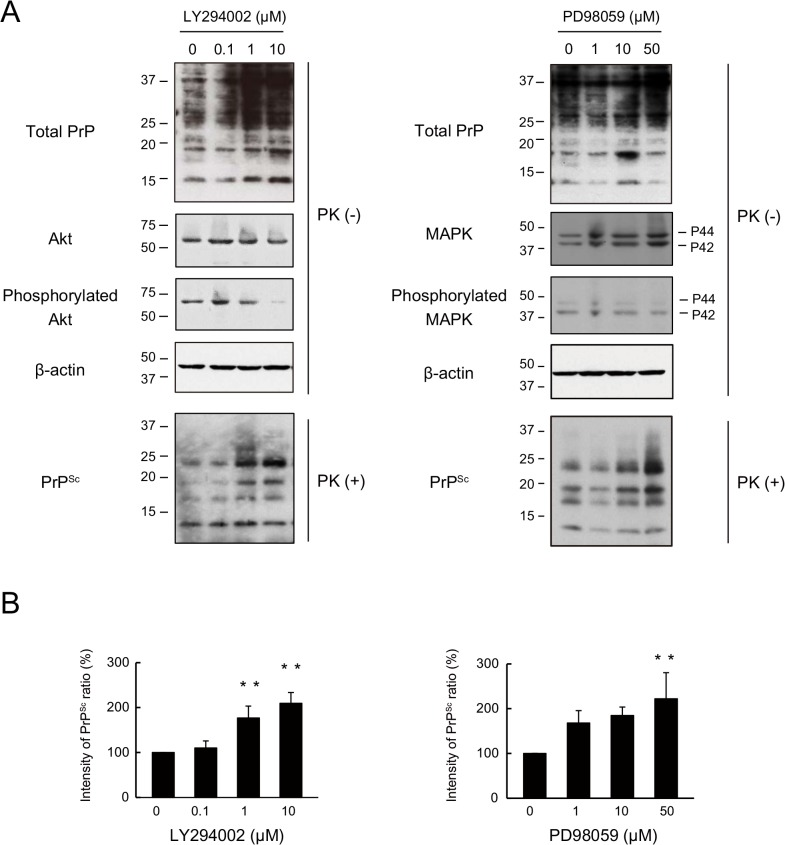 PrP Sc in N2a-FK cells undergoes degradation via upstream intracellular signalling cascades associated with autophagy. (A) N2a-FK cells were treated with 0.1 to 10 μM of the the PI3K inhibitor LY294002 and 1 to 50 μM of the MEK inhibitor of PD98059 for 48 h. PK-treated or-untreated samples were applied at concentrations of 100 and 50 μg protein per lane onto a 15% polyacrylamide gel and subjected to SDS-PAGE. The proteins were analyzed by western blotting using anti-PrP, anti-Akt, anti-phosphorylated Akt (to determine the Akt activation level), anti-p44/p42 MAPK, anti-phosphorylated p44/p42 MAPK (to determine the p44/p42 MAPK activation level) and anti-β-actin antibodies. (B) The effect of these drugs on PrP Sc was determined by quantifying the PrP Sc band intensities as a percentage of those of the negative controls. The results in the graph are the mean ± SD of at least three independent experiments. *p