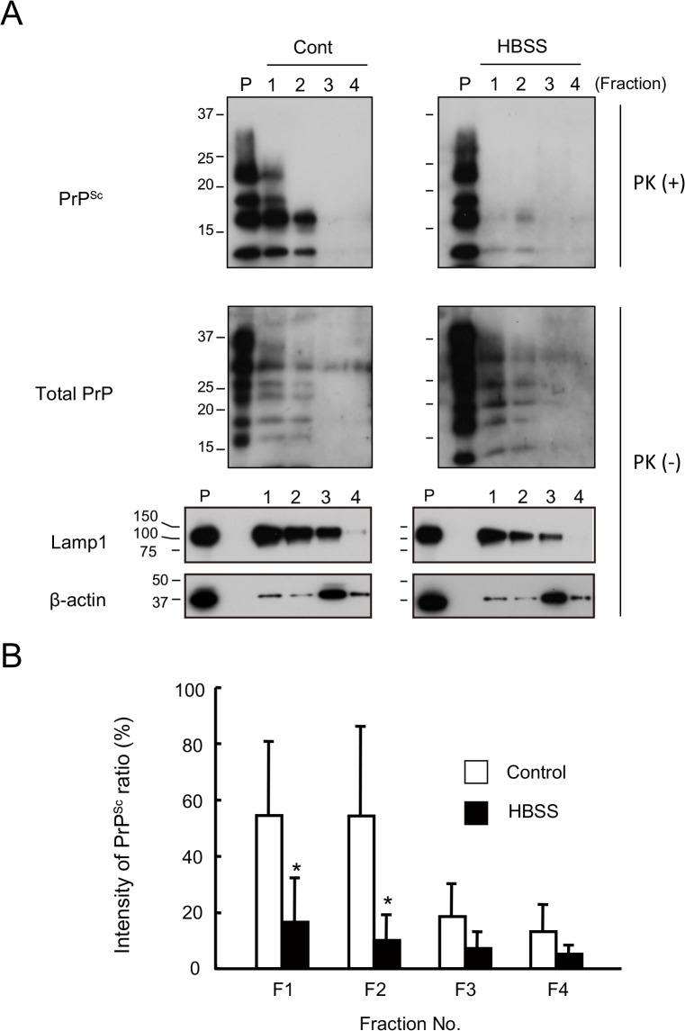 PrP Sc levels in the lysosomal fraction are reduced following autophagy in starved cells. (A) Lysosomes were isolated by the fractionation of N2a-FK cells incubated or not in HBSS for 8 h, as an inducer of autophagy. PK-treated or-untreated gradient fractions were applied at one-tenth of their original volume per lane onto a 15% polyacrylamide gel and subjected to SDS-PAGE. The proteins were detected by western blotting using anti-PrP, anti-Lamp1 (as a lysosomal marker) and anti-β-actin (as the internal standard) antibodies. Fractions 1 to 3 contained high-quality, purified native lysosomes. Positive controls consisted of cell lysates containing 15 μg of protein before purification (P). (B) To quantify ratio of the PrP Sc degradation in the isolated lysosomes, PrP Sc band intensities were measured as a percentage of those of the controls. Empty columns indicate the control, non-treated fractions and shaded columns the HBSS-treated fractions. The results in the graph are the mean ± SD of at least three independent experiments. *p