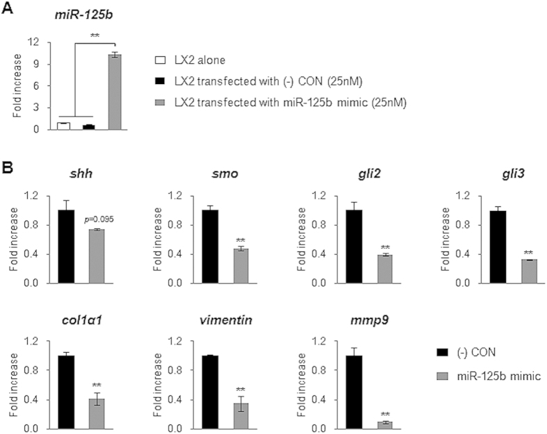 <t>MiRNA-125b</t> regulates expression of Hh signaling and profibrotic genes in LX2. ( A ) QRT-PCR analysis of miRNA-125b expression in LX2 or transfected LX2 with miRNA-125b mimic (25 nM) or scrambled-miRNA mimic ((-) CON, 25 nM) as a negative control for 24 hours. The mean ± SEM results obtained from three repetitive experiments are graphed (** p