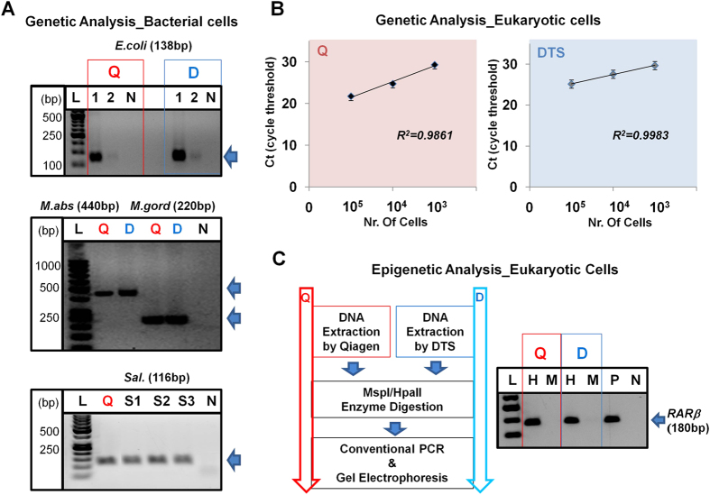 Validation of DTS assay for the downstream analysis in bacterial and eukaryotic cells. ( A ) The downstream analysis in bacterial cells - Genetic analysis with E. coli, M. abscessus, M. gordonae, and Sal. strains using conventional PCR with the DNA extracted from either the Q iagen kit (red) or D TS assay (light blue) and then gel electrophoresis analysis after PCR. [1: 10 5 , 2: 10 3 CFU samples, N: no DNA (negative), S1: Sal. Typhimurium , S2: Sal. Newport , S3: Sal. Saintpaul ]. ( B ) The downstream analysis in eukaryotic cells - Genetic analysis with HRAS gene using the DNAs extracted from the Q iagen kit (left, red; 10 5 : 21.75 ± 0.10, 10 4 : 24.76 ± 0.25, 10 3 : 29.32 ± 0.12) and the DTS assay (right, light blue; 10 5 : 25.17 ± 0.31, 10 4 : 27.57 ± 0.14, 10 3 : 29.66 ± 0.02). All error bars indicate standard error of the mean based on at least 3 independent experiments. ( C ) The downstream analysis in eukaryotic cells - Epigenetic analysis with RARβ gene using the DNAs extracted from the Qiagen kit (left-red) and the DTS assay (right-light blue). The DNA extracted was digested with methylation specific endonucleases (MspI/HpaII) and then gel electrophoresis analysis after conventional PCR. [H: HpaII, M: MspI, P: positive, and N: negative].