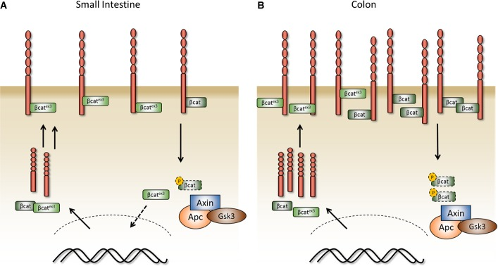 Model of single <t>β-catenin</t> mutation and interaction with E-cadherin in the small intestine and colon A, B Model of a single activating β-catenin mutation in the murine small intestine and the colon. In contrast to the small intestine (A), the increased levels of E-cadherin in the colon complexed with mutant β-catenin prevent its accumulation in the nucleus (B).