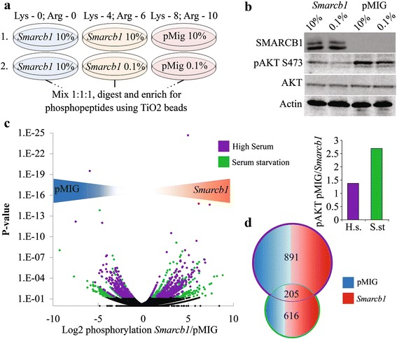 Phosphoproteomic profiling reveals robust Smarcb1 dependent changes in protein phosphorylation. Matching Smarcb1 proficient and deficient tumor cells were generated by re-introducing SMARCB1 (pMIG- Smarcb1 ) or an empty vector as control (pMIG) [ 14 ]. a The outline of the phosphoproteomic study. Two triple-SILAC experiments were conducted. The first set allowed evaluation of Smarcb1 dependent changes when cultured in normal serum whilst the second set allowed for the evaluation under serum starvation. Smarcb1 proficient cells grown in normal serum and light isotopic labeling were included in both sets to allow comparison between the two sets. b Western blot demonstrating differential AKT phosphorylation in Smarcb1 deficient versus proficient cells. Bar graph shows quantification of western blot presented as fold change in AKT phosphorylation in pMIG/ Smarcb1 cells normalized to beta-actin. c Volcano plot depicting Smarcb1 dependent changes in site phosphorylation across the two sets. X-axis is the log 2 ratio of the abundances of specific residues between Smarcb1 proficient and deficient cells. Negative values for highly phosphorylated in Smarcb1 deficient cells. Y-axis is the logarithmic scale for the P -value of the fold change. For P.V
