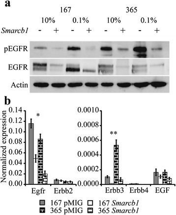 Smarcb1 dependent EGFR phosphorylation and transcriptional de-regulation. a Western blot demonstrating constitutive phosphorylation of Tyr-1092 of the EGFR in Smarcb1 deficient cells, and down-regulation of the total-EGFR protein. b Smarcb1 dependent transcriptional regulation of the ErbB family receptors and the EGF ligand. Graph shows RNA levels relative to beta actin as estimated by qRT-PCR. Note that the Y axis of the right panel is two orders of magnitude lower, indicating that expression levels of ErbB3, 4 and EGF are significantly low. In both cell lines Egfr and ErbB3 showed reduced expression in Smarcb1 proficient cells. * Fold change pMIG/ Smarcb1 167 = 2.4, 365 = 4.5; T -test P.V; 167 = 0.00058, 365 = 0.0098. ** Fold change pMIG/ Smarcb1 167 = 8.2, 365 = 6.8; T -test P.V; 167 = 0.0078, 365 = 0.013