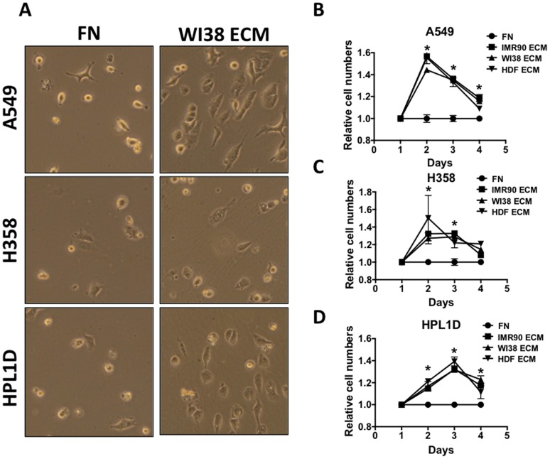 Fibroblast-derived ECM Protects Lung Cancer Cell Lines from Serum Deprivation. (A) A549, H358, and HPL1D cells were grown on fibronectin (FN) or on WI38 ECM in serum-free media for 48 hours and then photographed. (B) Relative cell numbers were quantified for A549 cells (B), H358 cells (C) and HPL1D cells (D) using Alamar Blue every 24 hours after cells were put into serum free media. By the fourth day in serum free media, basically all cells were dead.