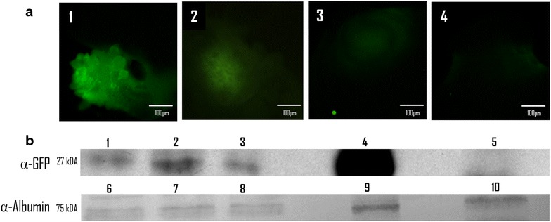 Time course of the GFP fluorescence after microinjection of intact Taenia crassiceps cysticerci. a GFP-TOPO plasmid ( 1 – 3 ) and a GFP-negative plasmid: pCMV-VSV-G ( 4 ) microinjected cysts, after 24 ( 1 and 4 ); 48 ( 2 ) and 72 h ( 3 ). Photographs were taken using an Olympus DSU confocal system with a FITC (450–490 nm) filter under the same conditions for all cases. b Western blots using crude extracts of GFP-TOPO ( 1 – 3 ) and pCMV-VSV-G ( 5 ) microinjected cysts; 24 ( 1 and 5 ); 48 ( 2 ) and 72 ( 3 ) h post microinjection. A crude extract of HEK 293 cells transfected with GFP-TOPO ( 4 ) is also shown as a positive control. 50 µg of each crude extract were loaded on each lane in the gel and all blots were obtained from a single gel run. For detection of GFP, a polyclonal rabbit IgG α-GFP antibody and a goat α-rabbit IgG antibody conjugated with horseradish peroxidase were used at 1:1000 and 1:10,000 dilutions, respectively. Loading controls ( 6 – 10 ) used a sheep anti-mouse albumin polyclonal antibody followed by a horseradish peroxidase conjugated anti-sheep IgG secondary antibody (Aldridge et al. 2006 ). Development of peroxidase was carried out using an enhanced chemiluminescence kit