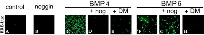 Up-regulation of the BMP signaling reporter BRE-Luc by BMPs is specifically blocked by noggin and dorsomorphin. DCDMLs were transfected with the BRE-luciferase reporter construct BRE-Luc and cultured for 2 d with no additions (control), noggin, 5 ng/ml BMP4, 10 ng/ml BMP6, or the indicated BMP plus either noggin or dorsomorphin. Fixed cultures were immunostained with anti-luciferase antibodies, and confluent regions of the monolayer were imaged. See Figure 8 C for Western blot quantification of the effect of noggin and dorsomorphin on BRE-luciferase protein levels.