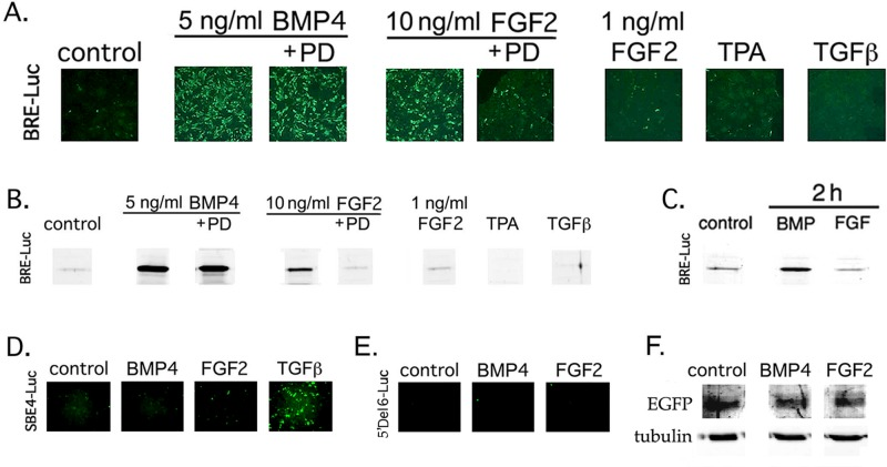 FGF specifically increases expression of the BMP signaling reporter BRE-Luc in lens cells. (A–E) DCDMLs were transfected with plasmids encoding BRE-Luc (A–C), SBE4-Luc (D), or 5′ Del 6 Id1-Luc (E) and cultured with no additions (control), 5 ng/ml BMP4, 10 ng/ml FGF2, 1 ng/ml FGF2, 4 ng/ml TGFβ1, or 50 nM TPA for 22 h (A, B, D, E), or 2 h (C). Where indicated, the FGFR inhibitor PD173074 (PD) was also present. Cultures were either fixed and immunostained with anti-luciferase antibodies (A, D, E) or lysed and equal amount of total cell protein analyzed by Western blot using the same antibody (B, C). Representative of three or more independent experiments. (F) Experiments in which a plasmid encoding constitutively expressed EGFP was cotransfected with 5′ Del 6 Id1-Luc at a ratio of 1:4 demonstrated equal levels of expression of EGFP when normalized to either total protein or tubulin, indicating that the lack of expression of 5′ Del 6 Id1-Luc in E was not due to a lack of cell transfection.