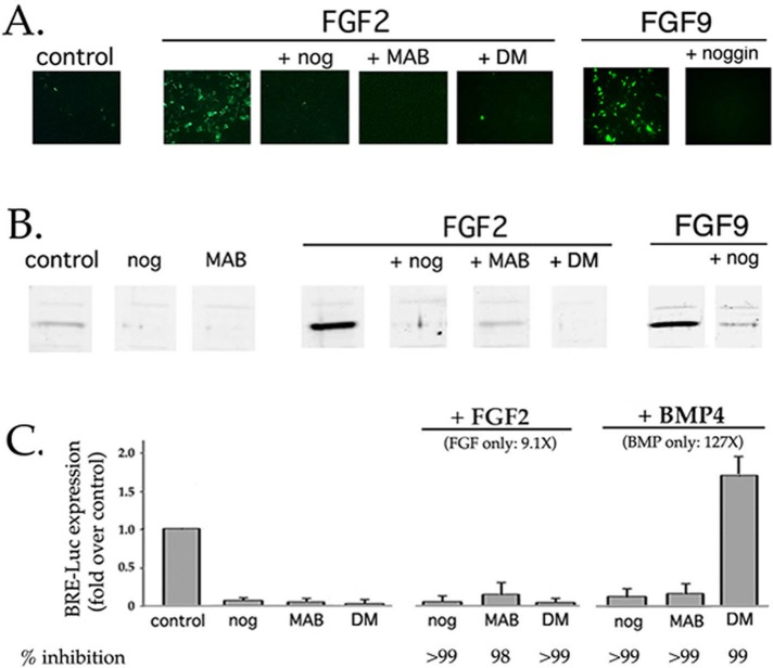 Up-regulation of BRE-Luc expression by FGF requires signaling from endogenously expressed, noggin-sensitive BMPs. DCDMLs were transfected with BRE-Luc and cultured with no added growth factor (control), 10 ng/ml FGF2, 20 ng/ml FGF9, or 5 ng/ml BMP4. Incubations were conducted in either the absence or presence of noggin (nog), the anti-BMP antibody MAB3552 (MAB), or dorsomorphin (DM). After 22 h, cultures were either fixed and immunostained with anti-luciferase antibodies (A) or lysed and equal amount of total cell protein analyzed by Western blot using the same antibody (B). (C) Summary of experiments conducted as in B, compared with results obtained in the same experiments from cells cultured for 22 h with 5 ng/ml BMP4. Results graphed as fold increase in luciferase levels relative to untreated control transfectants ( n = 3). The percentage inhibition relative to growth factor alone is included. The low level of anti-luciferase immunoreactivity in untreated control transfectants is due to endogenous BMP4/7 signaling, as demonstrated by its near absence in cells treated with noggin, MAB3552, or dorsomorphin alone. Immunofluorescence images showing the effect of noggin and dorsomorphin on BMP4-induced BRE-Luc expression are presented in Figure 6 .