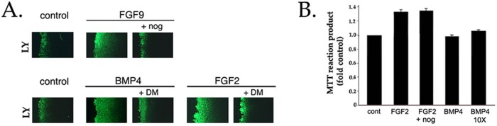 Up-regulation of gap junctional communication, but not of cell proliferation, by FGF requires signaling from endogenously expressed BMPs. (A) DCDMLs were incubated without growth factor (control) or with 10 ng/ml BMP4, 10 ng/ml FGF2, or 20 ng/ml FGF9 in either the absence or presence of noggin or dorsomorphin as indicated. After 2 d of culture, cells were assayed for gap junction–mediated intercellular spread of Lucifer yellow (LY) using the scrape-load dye transfer assay. Typical of three independent experiments. (B) DCDMLs were plated at low density (0.7 × 10 5 cells/well) and incubated with no additions (cont), 2 ng/ml FGF2, 2 ng/ml FGF2 + noggin, 0.2 ng/ml BMP4, or 20 ng/ml BMP4 (10X). After 2 d, the MTT assay was used to colorimetrically assess cell proliferation. Data expressed as fold OD 570 nm experimental/OD 570 nm untreated control. n = 3.