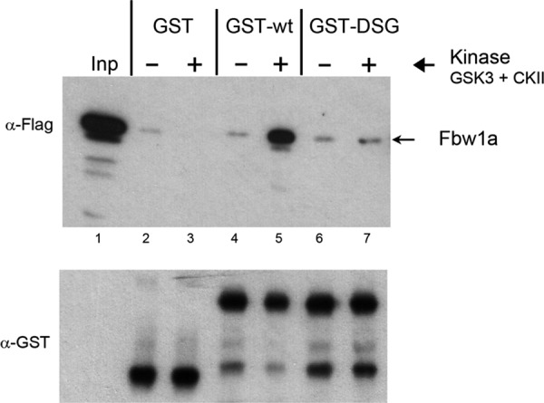 Direct phosphorylation-dependent interaction between CREB-H and Fbw1a. Cells were transfected with Flag-tagged Fbw1a and soluble extracts made. Equal amounts of purified GST, GST-wt, or GST-DSG protein bound to glutathione-agarose beads were incubated without (–) or with (+) purified GSK-3 and CKII for 30 min before the addition of the Fbw1a- transfected soluble extracts. After further incubation, the beads were isolated, washed extensively, and then analyzed by SDS–PAGE and Western blotting for Fbw1a and for GST fusion protein in the pull-down (Fbw1a and GST panels). The input sample (Inp) represents 1/50 of the total input, and 1/5 of the pull-down material was analyzed in each case. Equal amounts of total GST-fusion proteins were incubated in each case and present in the pull-down as detected by anti-GST antibody (bottom GST panel). Specific interaction with wt was observed but only after phosphorylation by GSK-3 and CKII. In parallel, no significant interaction was observed for the GST control or for GST-DSG.