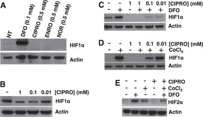 FQs suppress HIF-1α in HEK293 cells. A, relative HIF-1α levels assessed by Western blotting in HEK293 cells with 0.5 m m FQ treatment for 4 h in hypoxia (2% oxygen). B, HIF-1α levels in HEK293 cells treated with CIPRO in hypoxia. HIF-1α status in HEK293 cells with co-treatment of CIPRO and DFO ( C ) or CoCl 2 for 4 h in hypoxia ( D ) is shown. E, HIF-2α levels in HEK293 cells with co-treatment of CIPRO and DEF or CoCl 2 in hypoxia for 4 h. 100 μ m DFO (positive control) or CoCl 2 (positive control) was used in the co-treatment experiments. NT (diluent only).