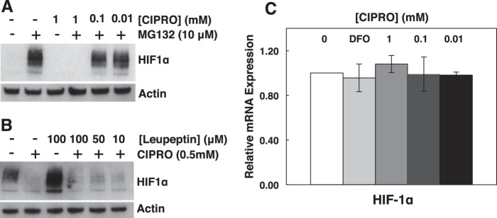 FQ-dependent reduction of HIF-1α does not involve proteasomal or lysosomal degradation. Inhibition of proteasomal (MG132) ( A ) or lysosomal (leupeptin) ( B ) protein degradation does not rescue HIF1α levels in cells treated with CIPRO. C, qRT-PCR analysis of relative HIF-1α mRNA in cells treated with DFO or CIPRO. Data are the means ± S.D. representative of n ≥ 3 independent experiments.